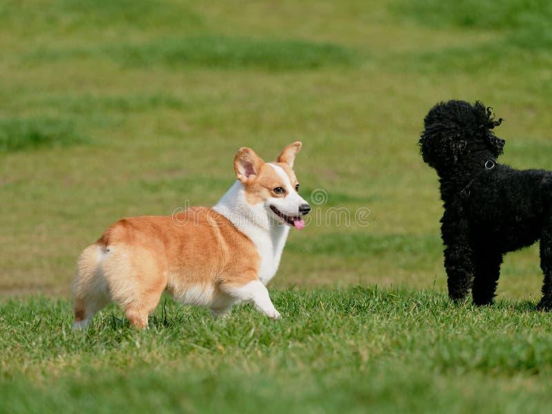 Pembroke Welsh Corgi, spelen van Hond het Welse Corgi met zwarte poedel op groen grasgebied in zonnige dag stock foto