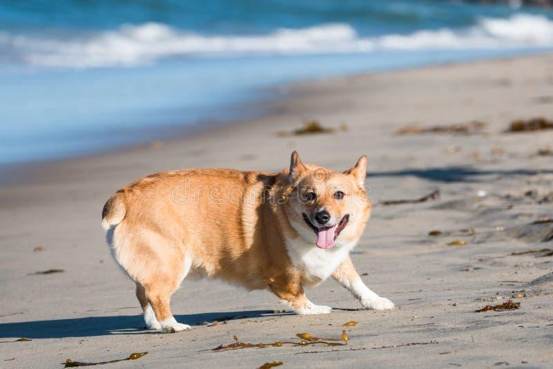 Pembroke Welsh Corgi Turning Around sulla spiaggia del cane immagine stock libera da diritti