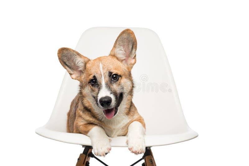 Pembroke Welsh Corgi-Welpe, der auf Stuhl sitzt Betrachten der Kamera stockfotografie