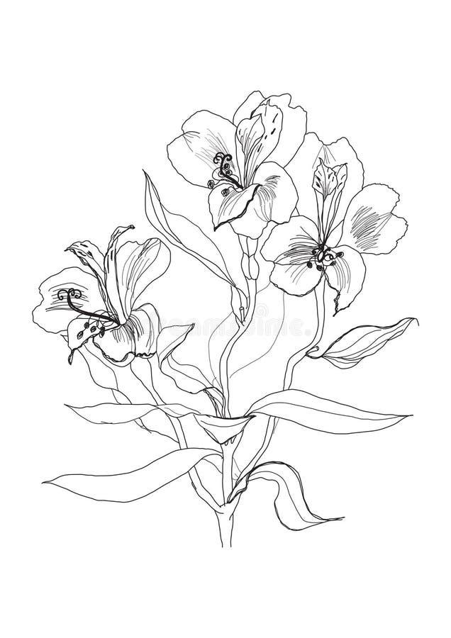 Pen drawing alstrameriya flower royalty free illustration