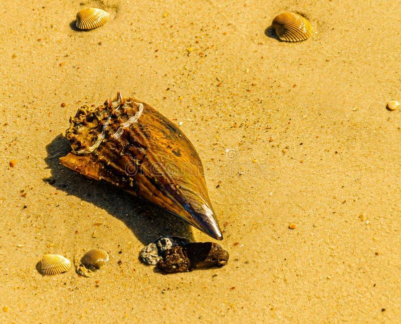 Pen Shell Portrait immagine stock