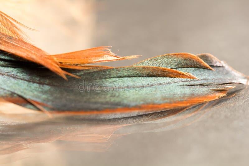 Pena colorida do galo com detalhes imagem de stock
