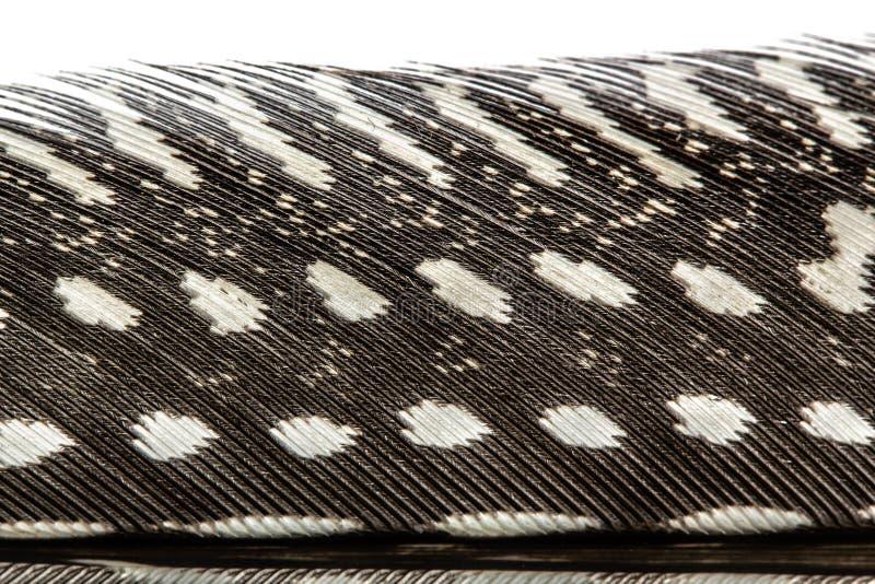 Pena do close-up do galinha-do-mato, isolada no branco fotografia de stock