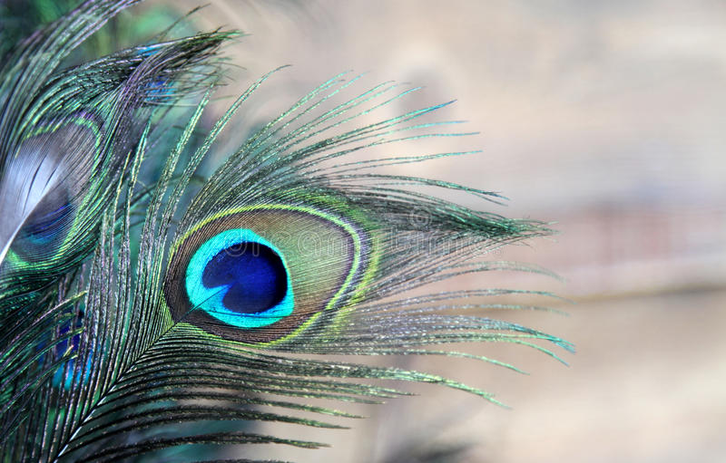 Pena do pavão azul e verde foto de stock royalty free
