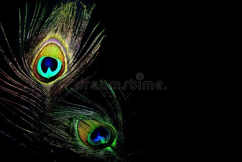 Pena do pavão das rainhas da dança fotografia de stock