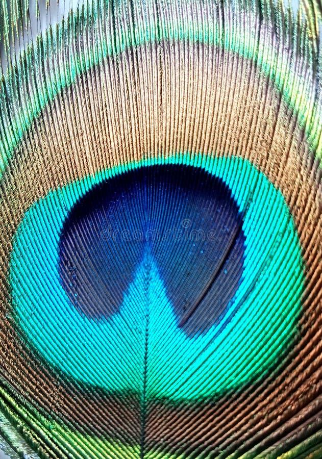 Pena do pavão fim acima de detalhado Olho da pena do pavão fotos de stock
