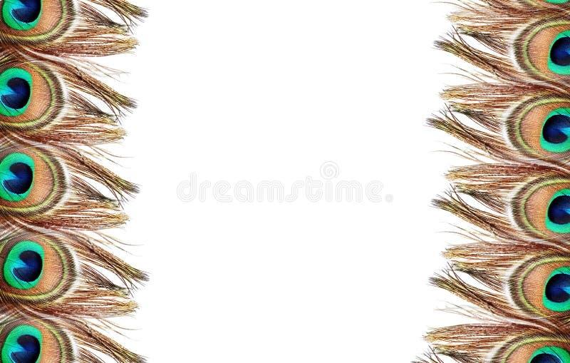 Pena do pavão no fundo branco imagens de stock