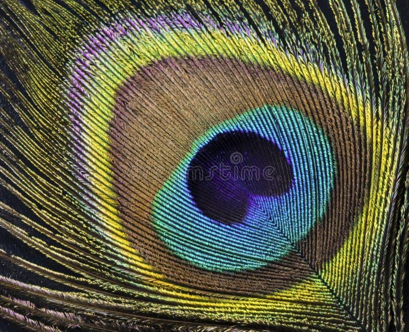 Pena exótica bonita do pavão foto de stock royalty free