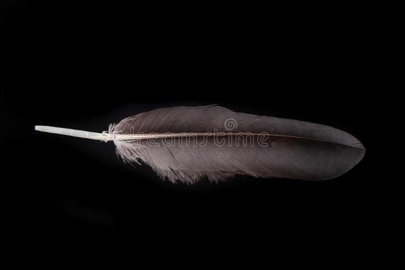Pena preta de um bird& x27; pato de s Uma pena de uma vida do pássaro em áreas urbanas imagem de stock royalty free