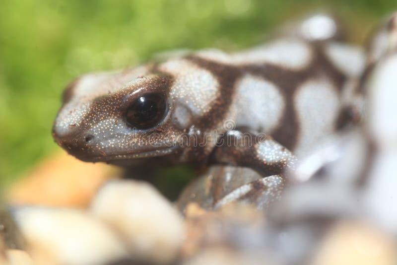 Penablanca van Dendrobatesauratus royalty-vrije stock foto's