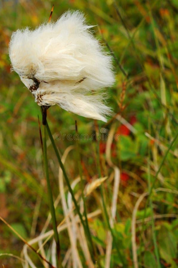 Penacho ártico del algodón