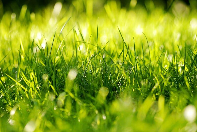 Penacho de la hierba verde fotos de archivo