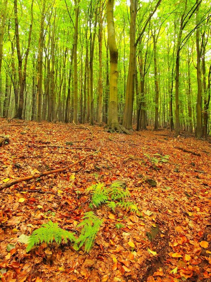 Penacho del helecho verde Finales mojado del bosque de la haya del verano entre los árboles de haya en el bosque cercano del otoñ foto de archivo libre de regalías