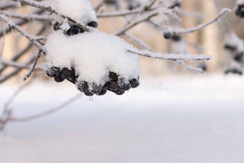 Penacho del invierno de una ceniza de montaña negra con la nieve fotos de archivo libres de regalías