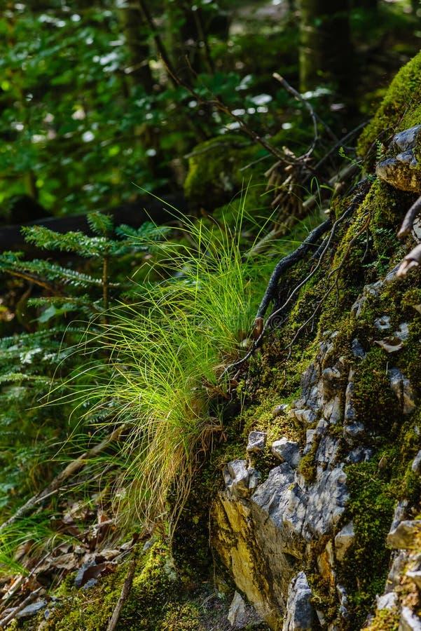 Penacho fresco de la hierba en una roca fotos de archivo