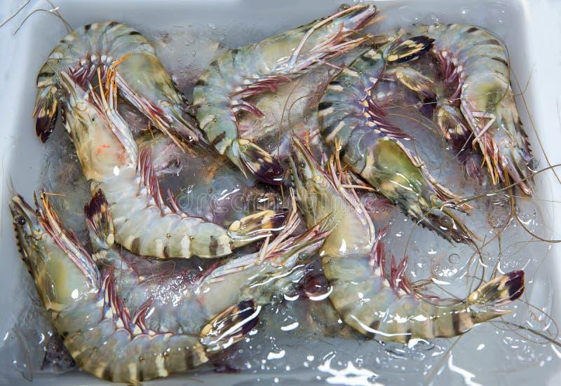 Penaeus monodon, giant tiger prawn or Asian tiger shrimp. black tiger prawns. stock photos