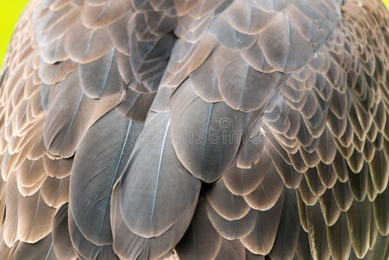 Penas da águia americana imagens de stock royalty free