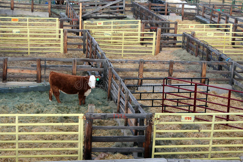 Penas de gado conservadas em estoque ocidentais nacionais da mostra fotos de stock
