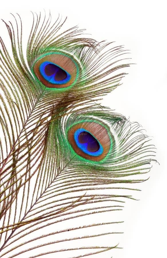 Penas do pavão
