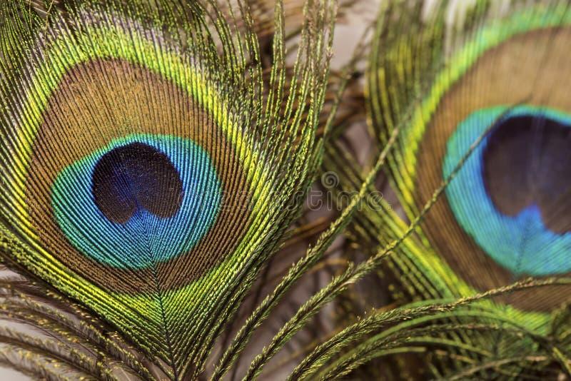 Penas exóticas bonitas do pavão imagem de stock