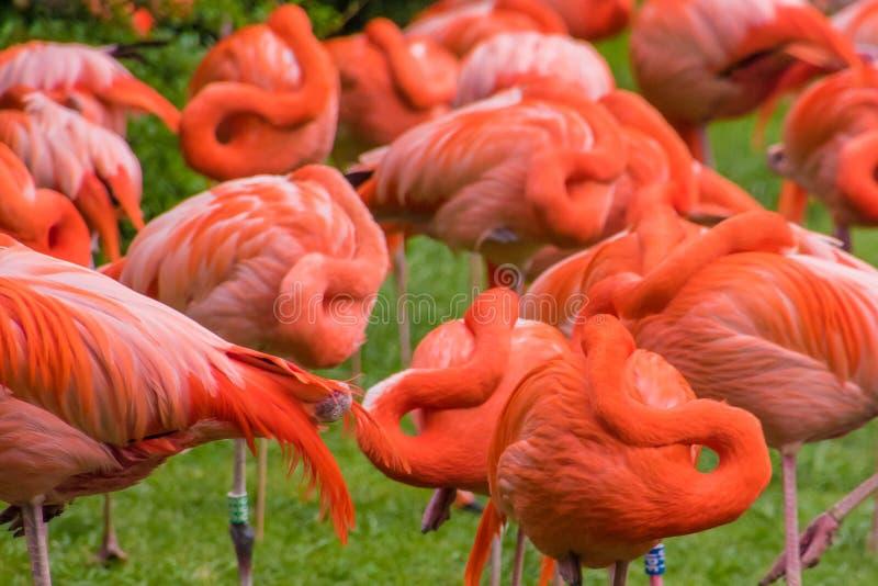 Penas vermelhas do phoenicopter do flamingo que dormem ao estar fotos de stock royalty free