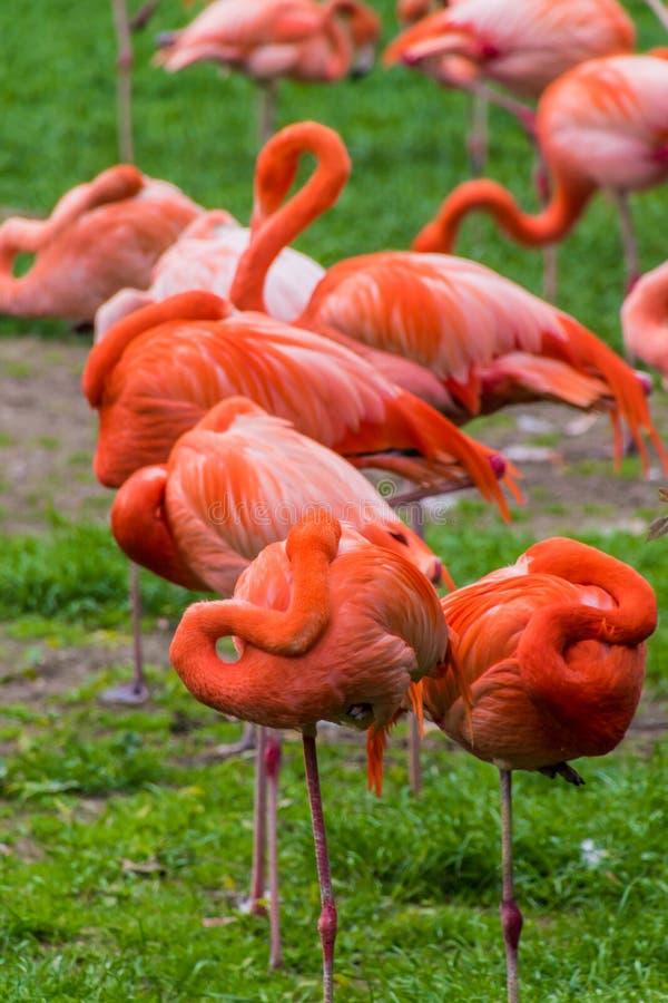 Penas vermelhas do phoenicopter do flamingo que dormem no pont fotos de stock royalty free
