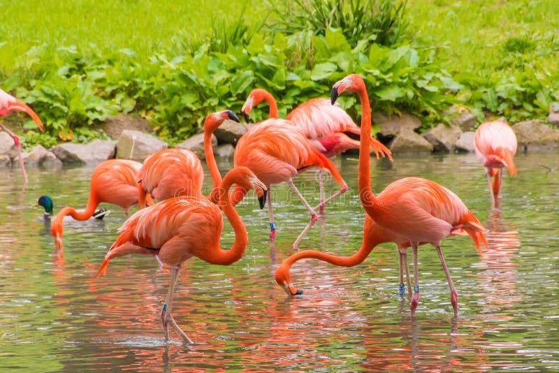 Penas vermelhas do phoenicopter do flamingo que estão no pont foto de stock royalty free