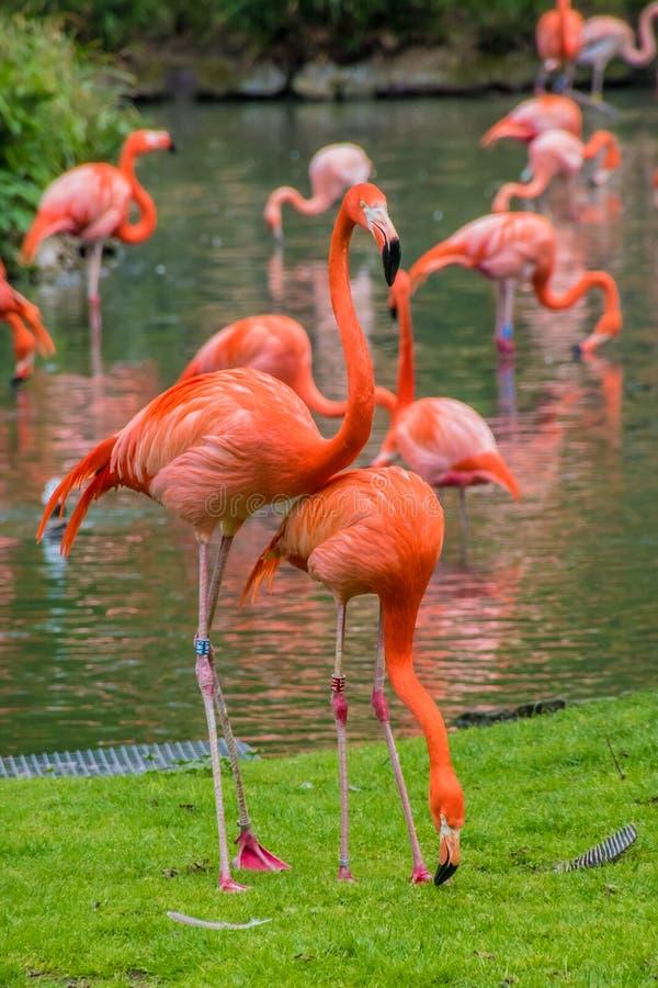 Penas vermelhas do phoenicopter do flamingo que estão no pont foto de stock