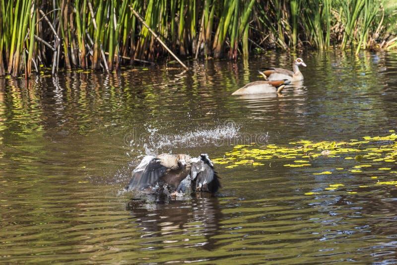 Penchez commencer à voler de l'eau à l'intérieur du jardin botanique de Kirstenbosch, Cape Town photos stock