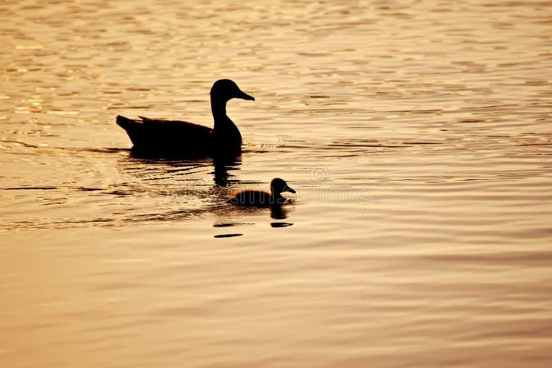 Penchez la natation avec le caneton silhouetté contre le coucher de soleil photographie stock