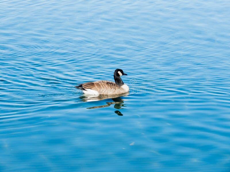Penchez la natation dans le lac Bolsena Viterbe Italie photo stock