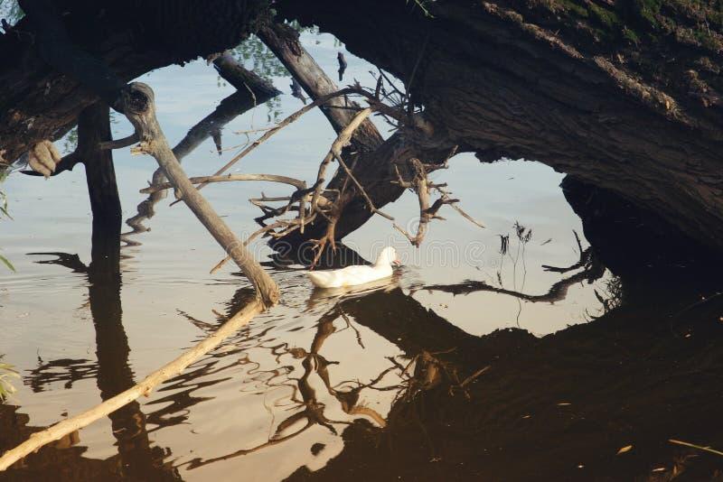 Penchez-vous, en passant dans l'étang sous un arbre tombé photos stock