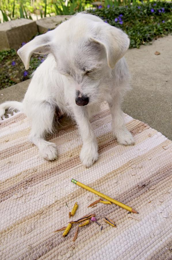 The Pencil Addict. Little white mix breed dog looking at chewed up pencil with guilt while sitting a beige colored rug outside royalty free stock photos