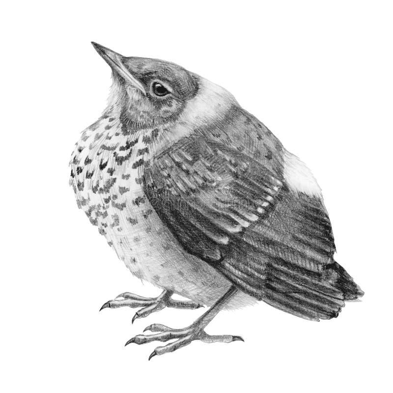 Pencil drawing baby thrush bird illustration. Graphic hand drawn wild catbird chik. Small nestling isolated on white background stock illustration