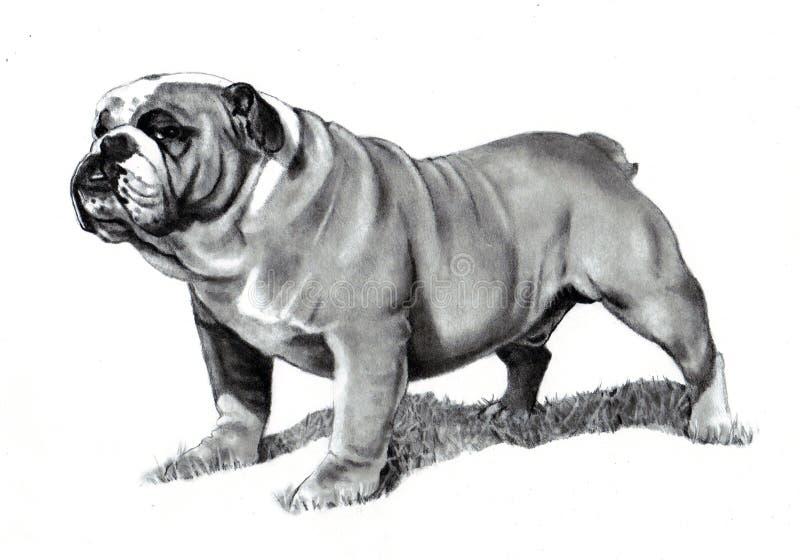 Pencil Drawing of Bulldog. A realistic pencil drawing of a bulldog royalty free illustration