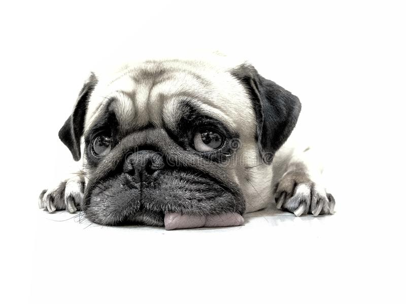 Pencil sketch of close-up face cute pug puppy dog sleeping by chin and tongue lay down on floor royalty free stock photo