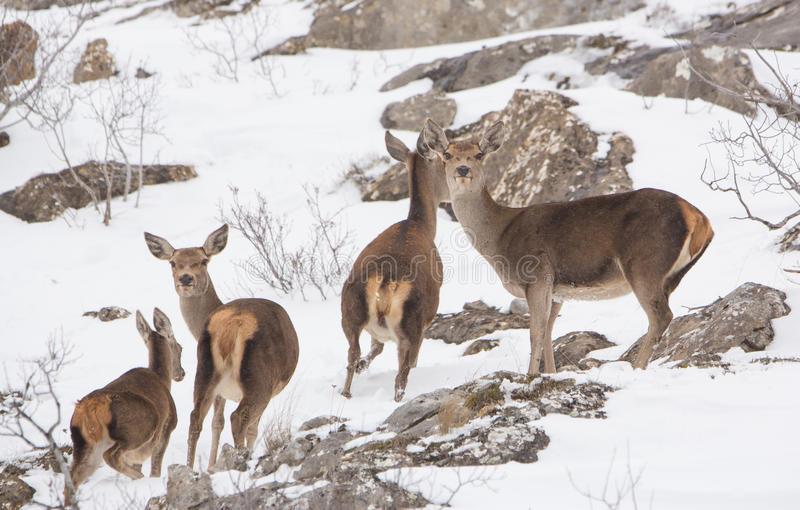 Un groupe de cerfs communs rouges photo stock