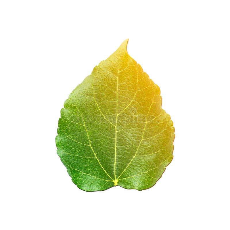 Pendenza gialla ed arancio di colore sopra la foglia verde del gelso su fondo bianco immagine stock libera da diritti
