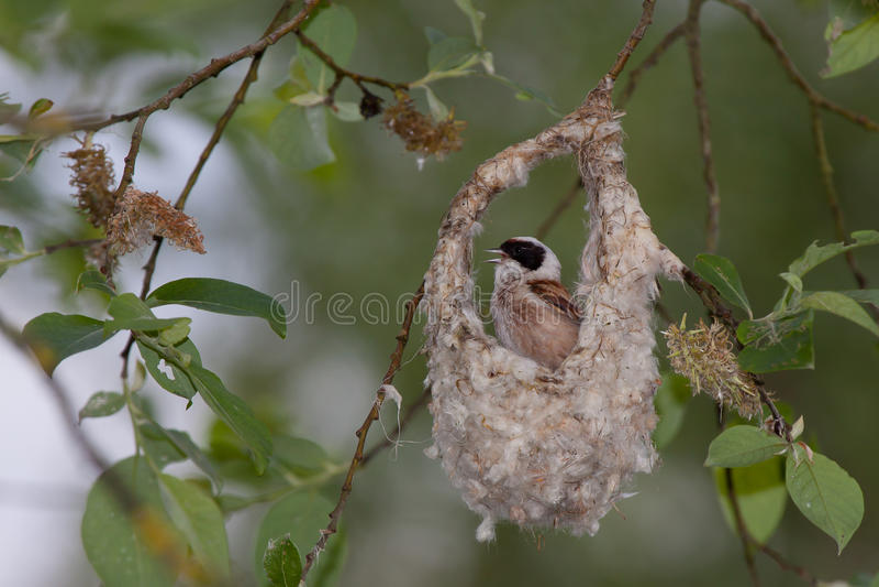 Penduline Tit. Male Eurasian Penduline Tit displaying its nest royalty free stock images