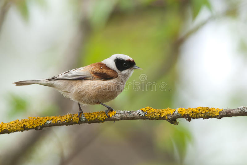 Penduline Tit. On a branch, green background stock photography