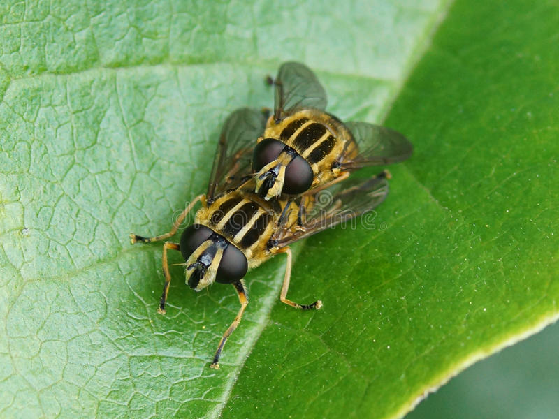 Pendulus de Helophilus - Hoverflies fotos de stock
