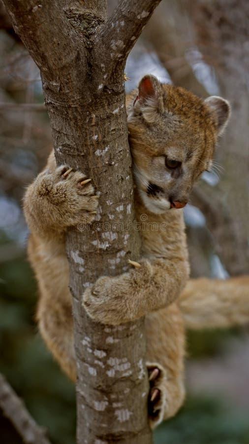 Pendurando sobre - puma (Felis Concolor) - o borrão de movimento fotografia de stock