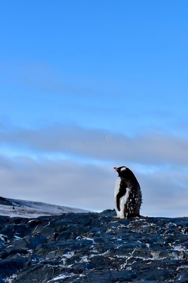 Pengions de Gentu en Antarctique pendant la saison muante images stock