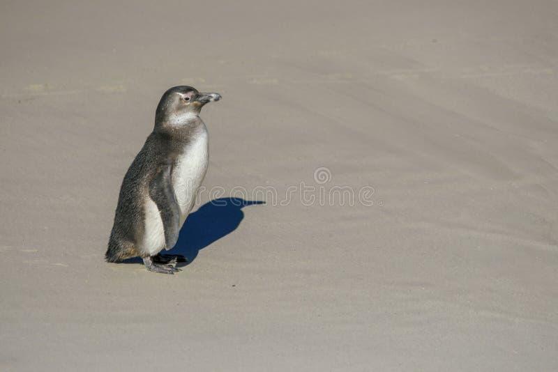 Penguın de bébé sur des sables photo libre de droits
