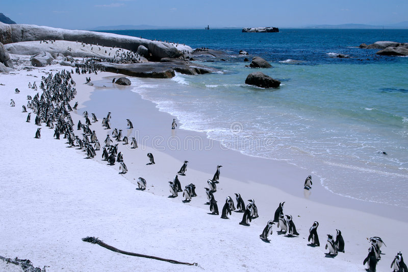 Penguin's beach. A large group of endangered African penguins enjoy some sunshine on the Boulders Beach where they get all the protection they need. Simon