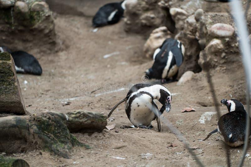 Penguin που γρατσουνίζει το πρόσωπό του στο ζωολογικό κήπο στοκ φωτογραφίες