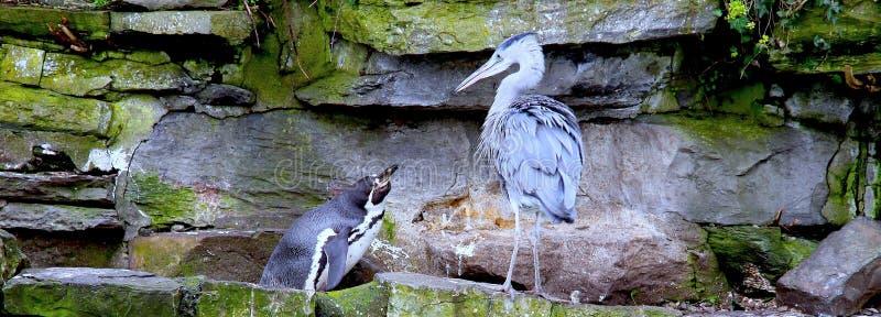 Penguin που εξετάζει τον ερωδιό στοκ φωτογραφίες