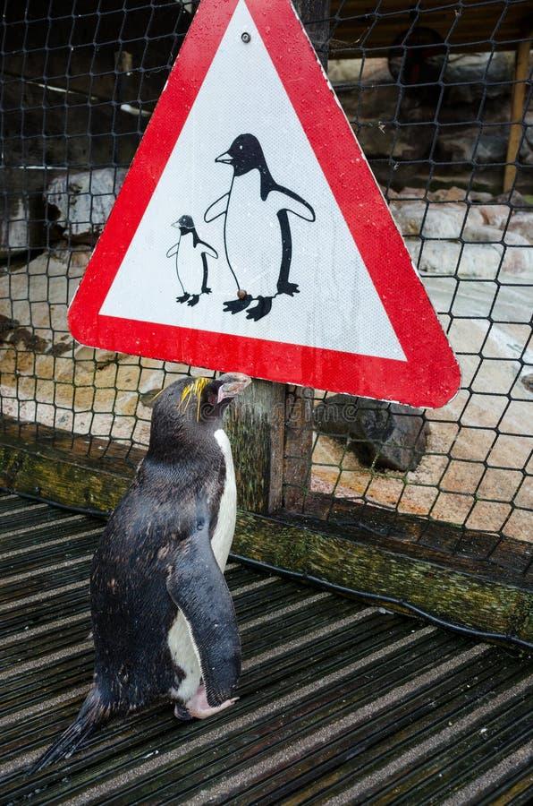 Penguin που εξετάζει το σημάδι Penguin στοκ εικόνα με δικαίωμα ελεύθερης χρήσης
