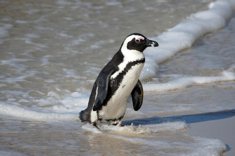 Penguin στην παραλία στοκ φωτογραφίες με δικαίωμα ελεύθερης χρήσης