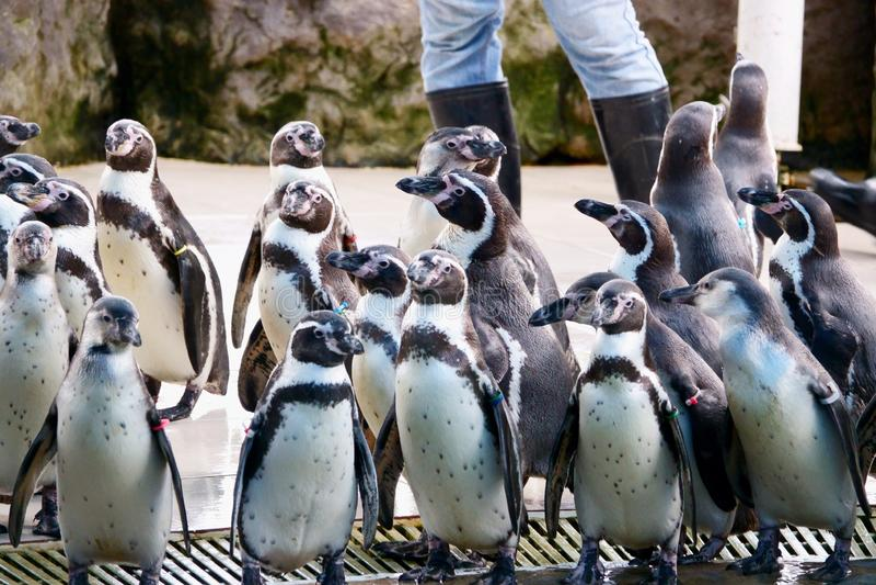 Penguin στον ανοικτό ζωολογικό κήπο Khao Kheow, Pattaya Ταϊλάνδη στοκ εικόνα